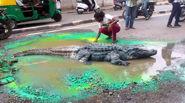 Crocodile-in-Bengaluru-City's-Pothole (2)