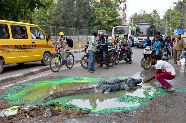 Crocodile-in-Bengaluru-City's-Pothole (4)