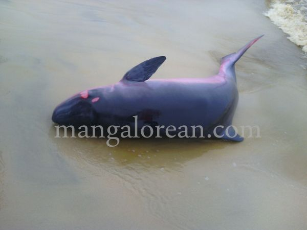 dolphine-hosabettu-20150617-002