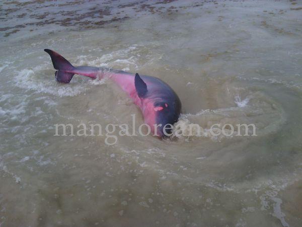 dolphine-hosabettu-20150617-005