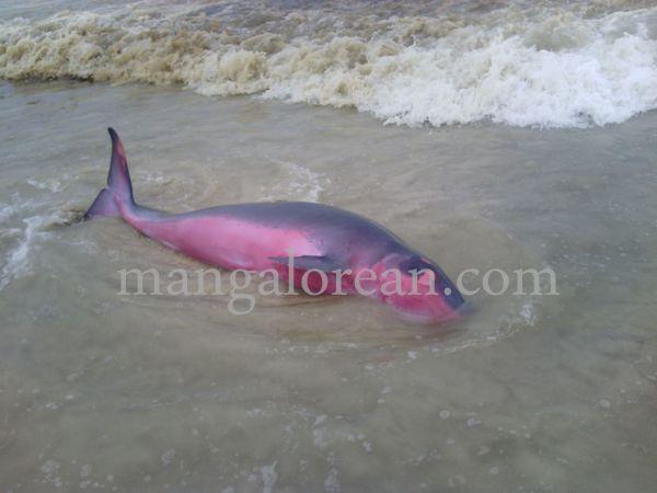 dolphine-hosabettu-20150617-007