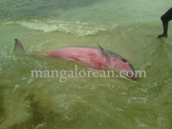 dolphine-hosabettu-20150617