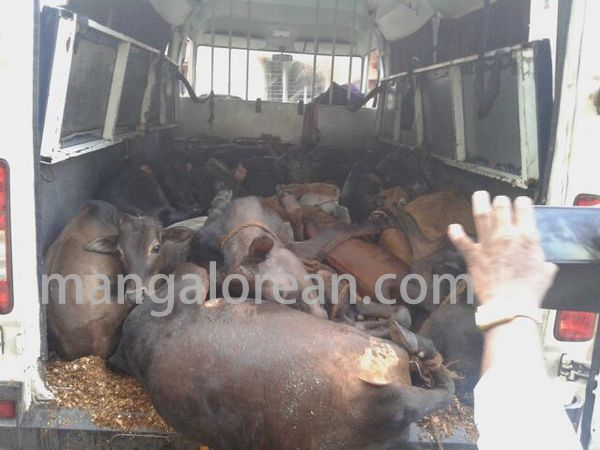 cowtrafficking-seized16cows-20150709-001