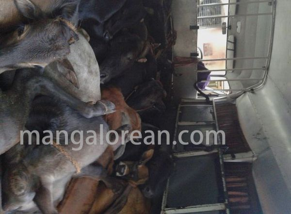 cowtrafficking-seized16cows-20150709-002