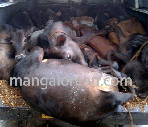 cowtrafficking-seized16cows-20150709