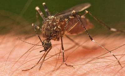 mosquito-m