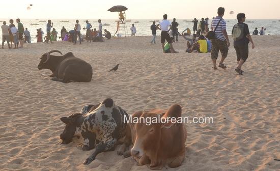 01-Cowso-calangutebeach_Goa