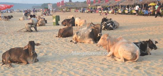 03-Cowso-calangutebeach_Goa-002
