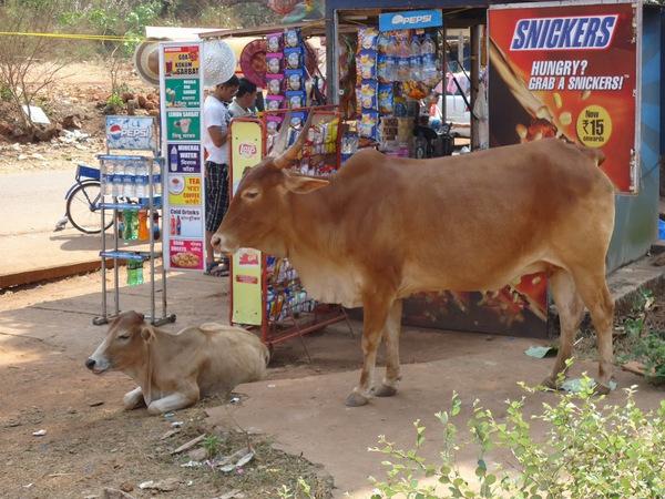 04-Cowso-calangutebeach_Goa-003