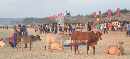 06-Cowso-calangutebeach_Goa-005