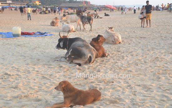 07-Cowso-calangutebeach_Goa-006