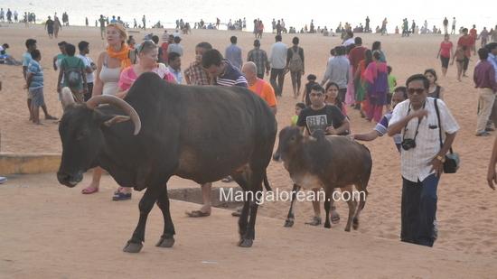 09-Cowso-calangutebeach_Goa-008