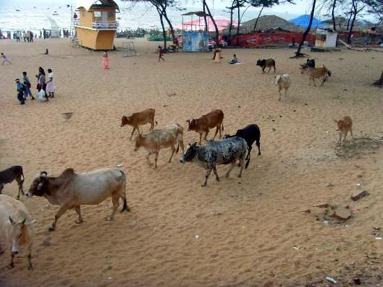 10-Cowso-calangutebeach_Goa-009