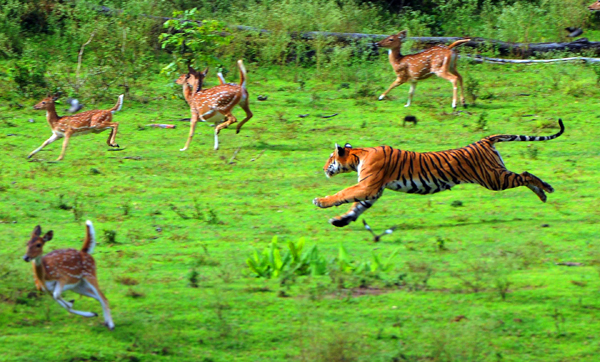 tiger attack ...in rajeevganddhi natiolal tiger reserve forest(nagarahole national park) a female tigeres having newly born three cubs and to feed the cubs tiger attacking spotted deer. pic by madhusudhan.sr