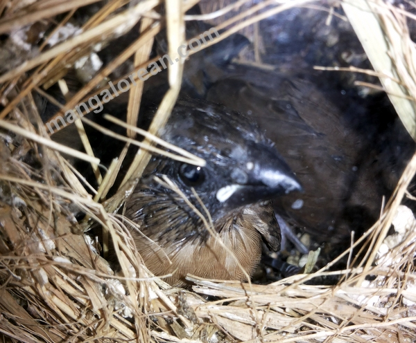 munia-nest-dr-maya-ahmed-007
