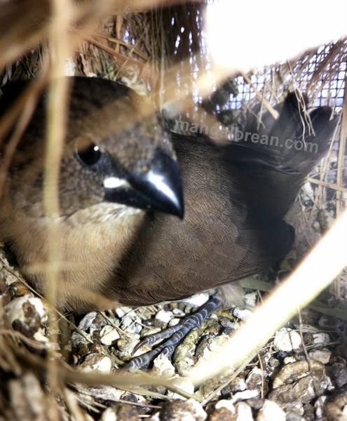 munia-nest-dr-maya-ahmed-008