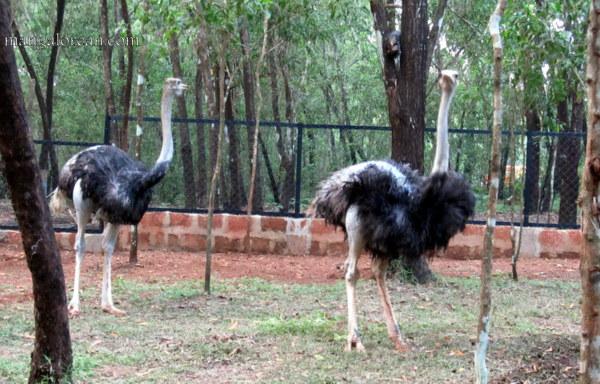 ostrich-new-16102015 (3)