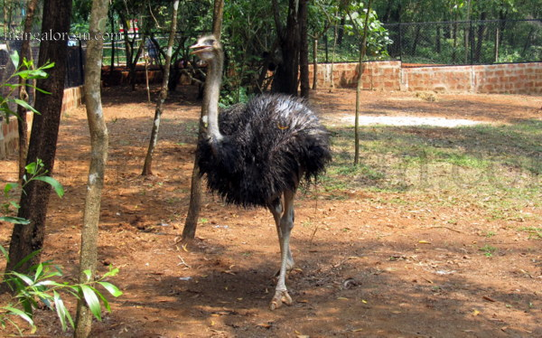 ostrich-new-16102015 (5)