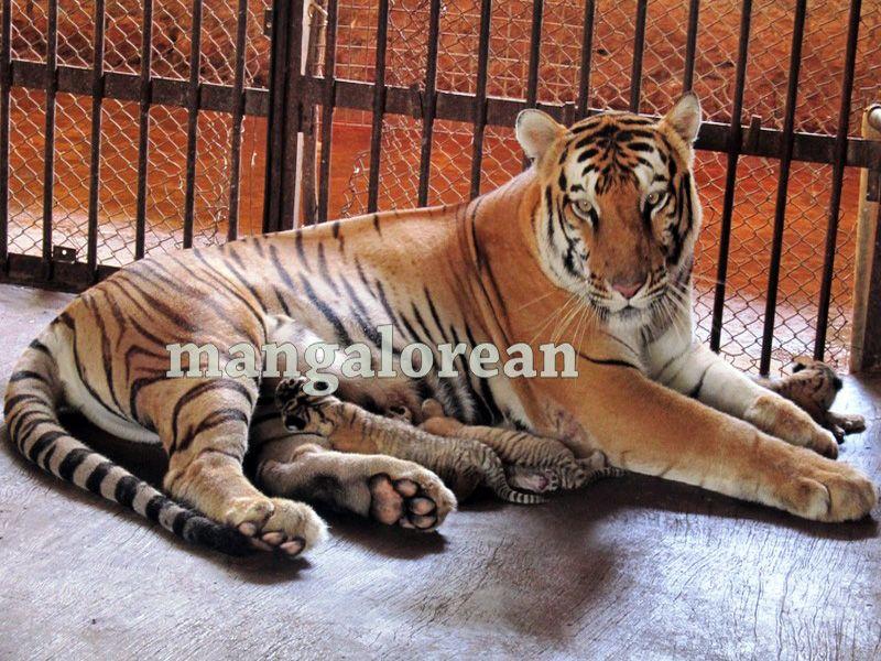 image001bengal-tigress-20160325-001