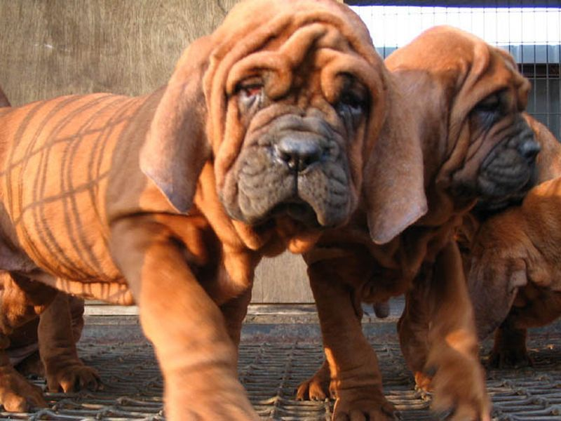 image001dogs-korean-dosa-mastiff-20160322-001