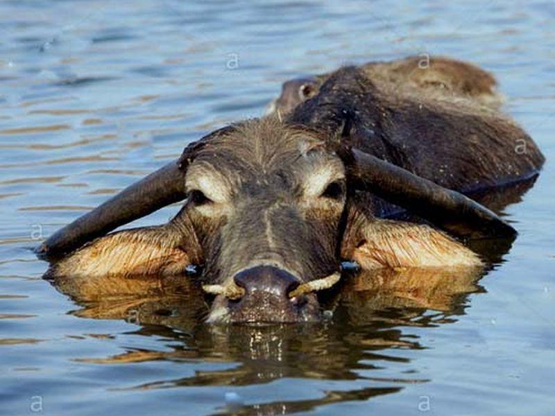 image001kambla-buffalo-20160323-001