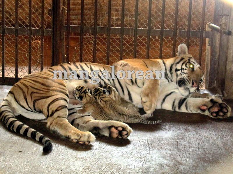image002bengal-tigress-20160325-002