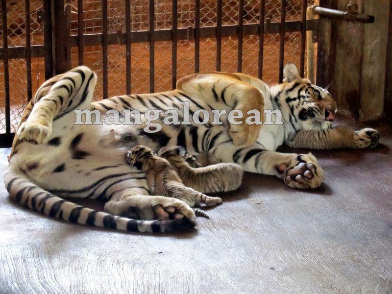 image003bengal-tigress-20160325-003