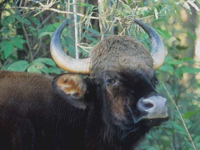 wild-buffalo-01