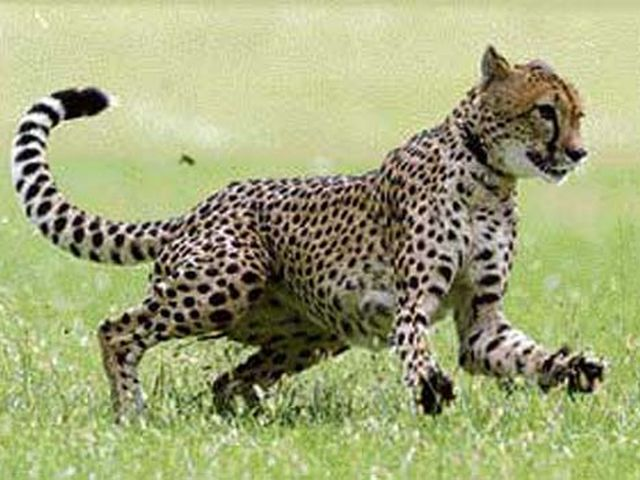 African-hunting -cheetah-20160417
