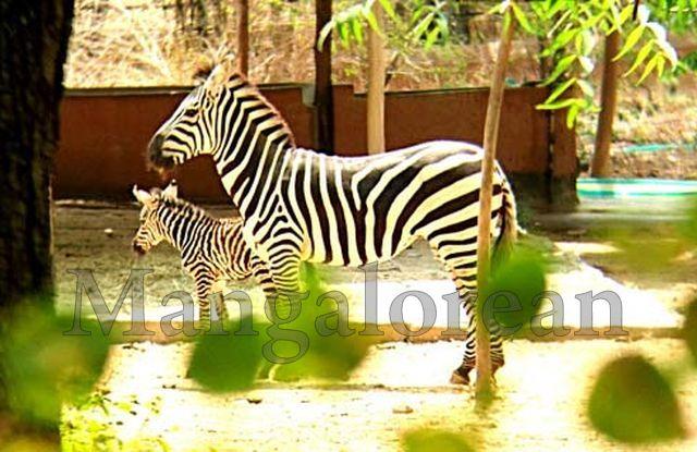 Mysuru-Zoo-First-Zeebra (1)