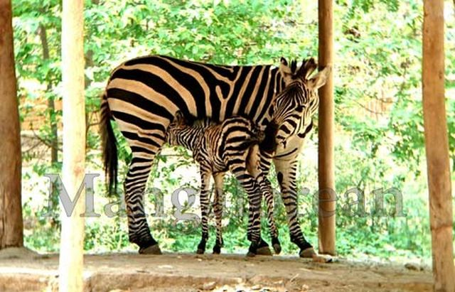 Mysuru-Zoo-First-zeebra02