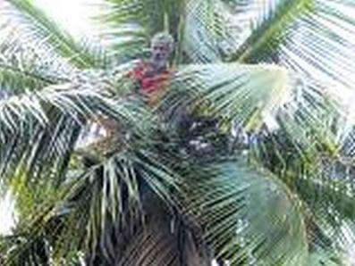 man-climbs-coconut-tree-0000002