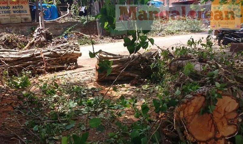 huge-Ashwatha-tree-crashing-down-Karangalpady-Mangaluru (6)
