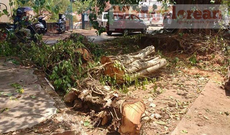 huge-Ashwatha-tree-crashing-down-Karangalpady-Mangaluru (7)