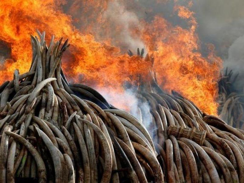 ivory-stockpile-20160510
