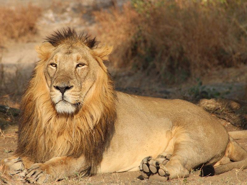 lion-20160510