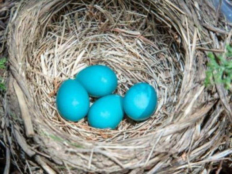 robins-blue-eggs-20160528