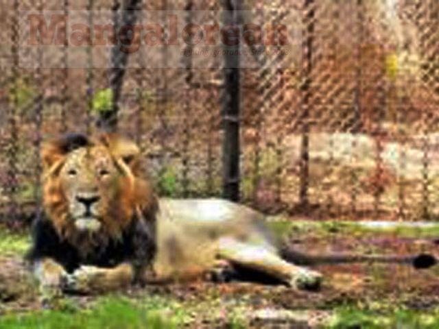zoo-lion-01