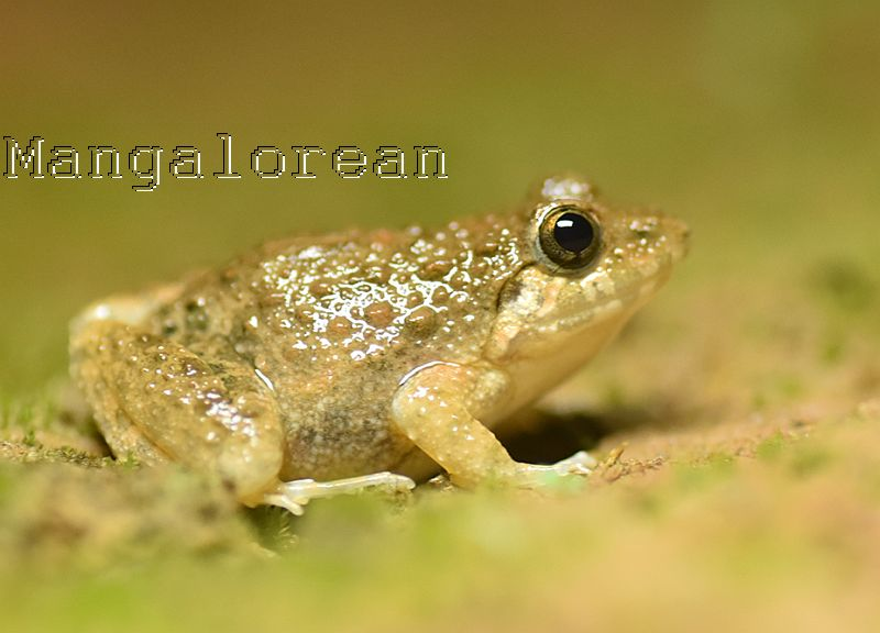 Granular Cricket frog - Photo by Godwin D'Souza