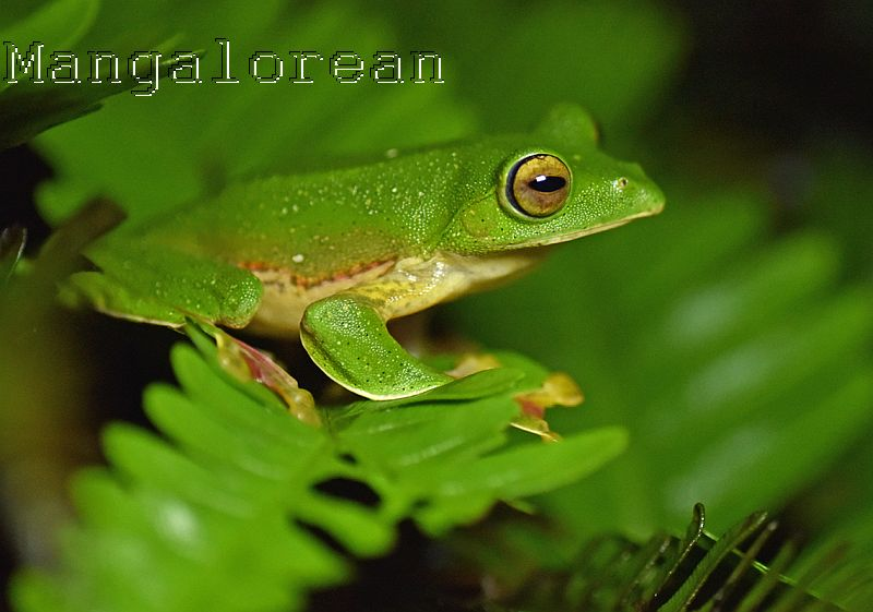 Malabar Gliding Frog- Photo by Godwin D'Souza