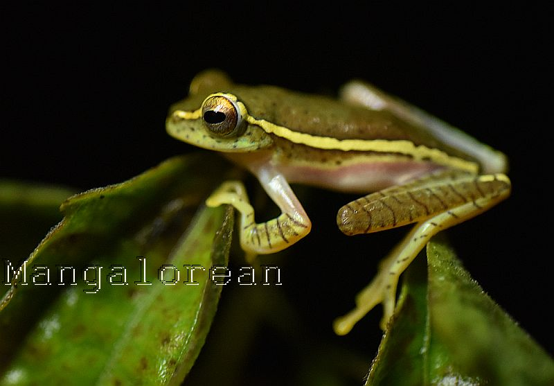 Small Tree Frog -Photo by Godwin D'Souza