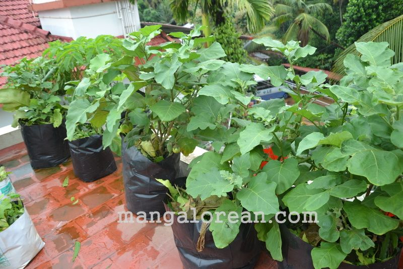 image009gardener-dr-ks-bhat-grows-plants-using-no-soil-20160623-009