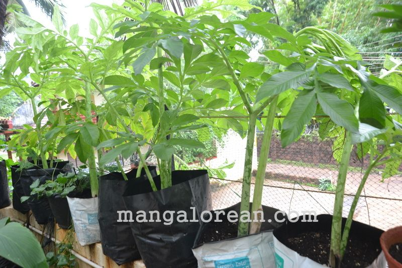 image013gardener-dr-ks-bhat-grows-plants-using-no-soil-20160623-013