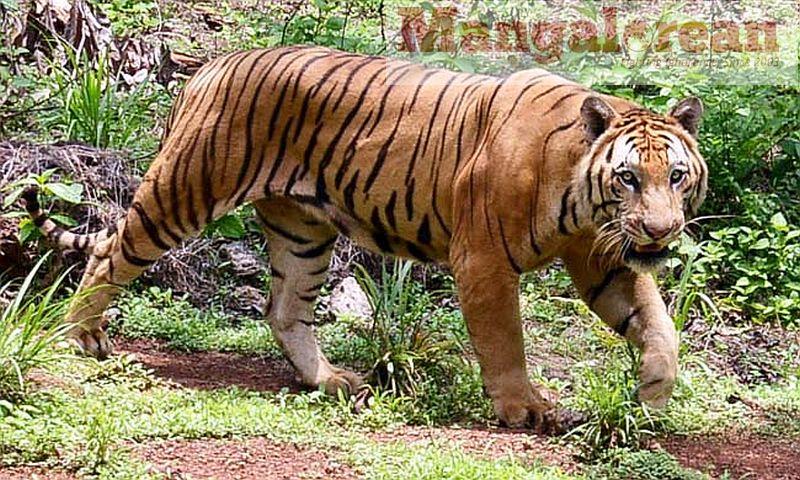 tiger-kumar-20160603