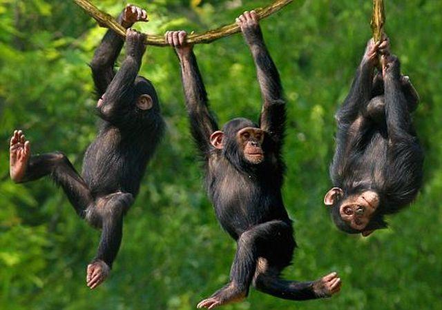 chimps-20160722