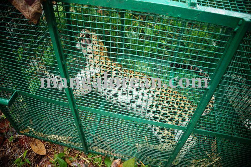 image001leopard-caught-in-moodubelle-20160710