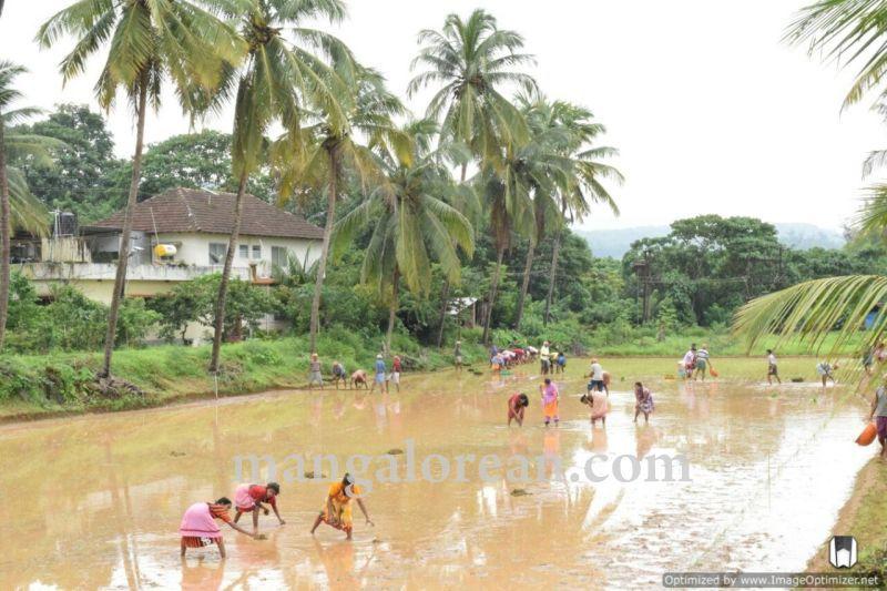 image002vijayadka-church-paddy-cultivation