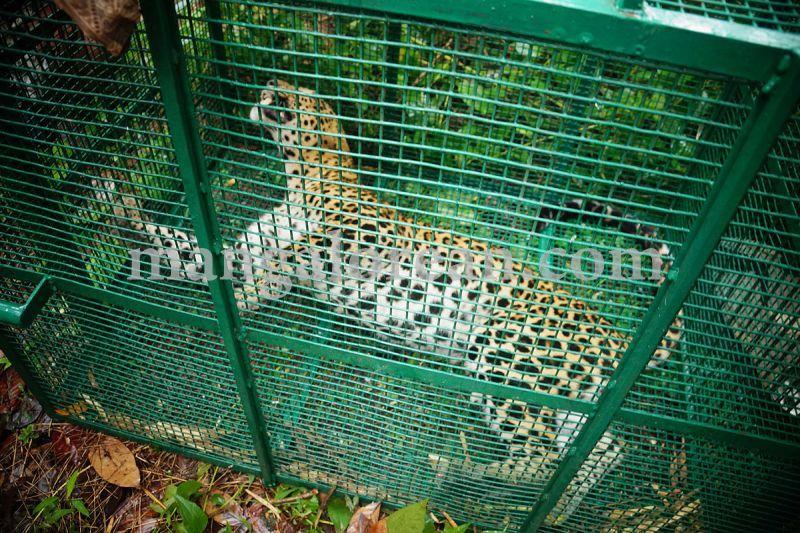 image003leopard-caught-in-moodubelle-20160710