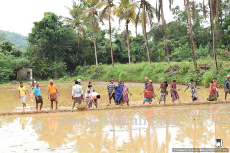 image004vijayadka-church-paddy-cultivation