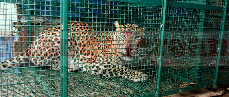 leopard-trapped-hiriyadka-20160728-01